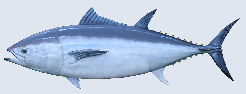 Blue fin tuna for Blue fin fish